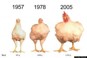 The weight and size of the average hen in America over time. Photo courtesy of huffingtonpost.com.