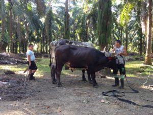 Wokers herd cattle used for transportation of fruit from palm oil trees. Photo taken in Costa Rica by Olivia Lease.